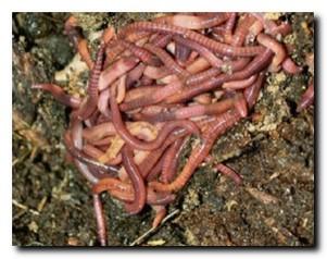 Навозный червь разведение и выращивание в домашних условиях