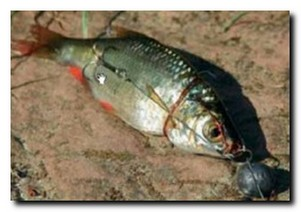 Снасть для ловли щуки на мертвую рыбку
