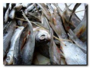 Вяление и сушка рыбы